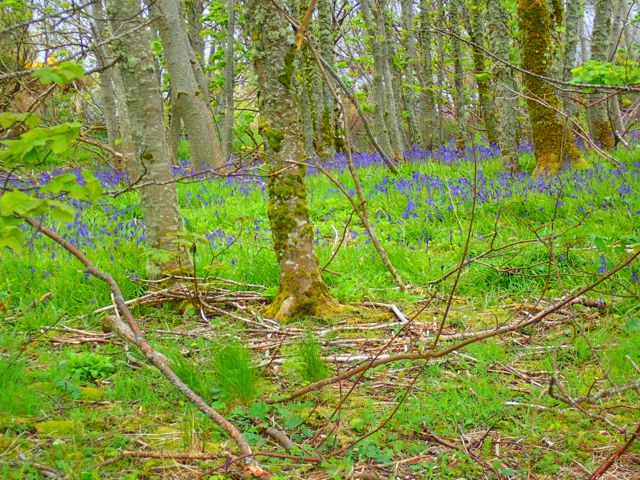 We never take bluebells for granted this far North