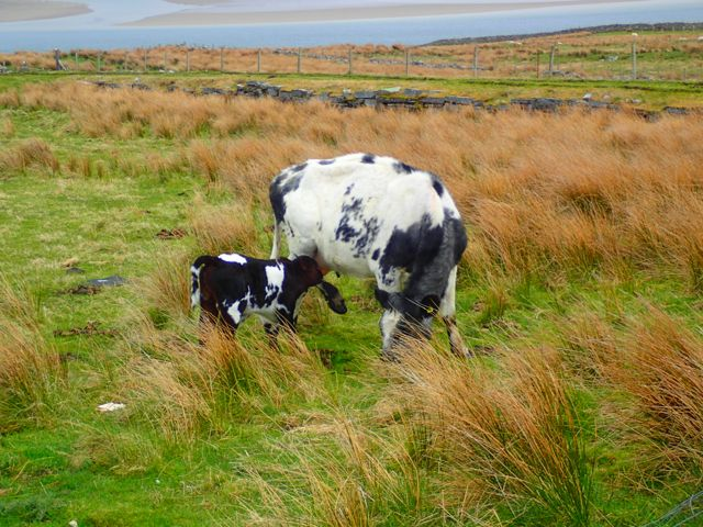 beautiful little calf