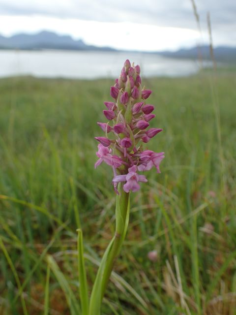 Beautiful fragrant Orchid